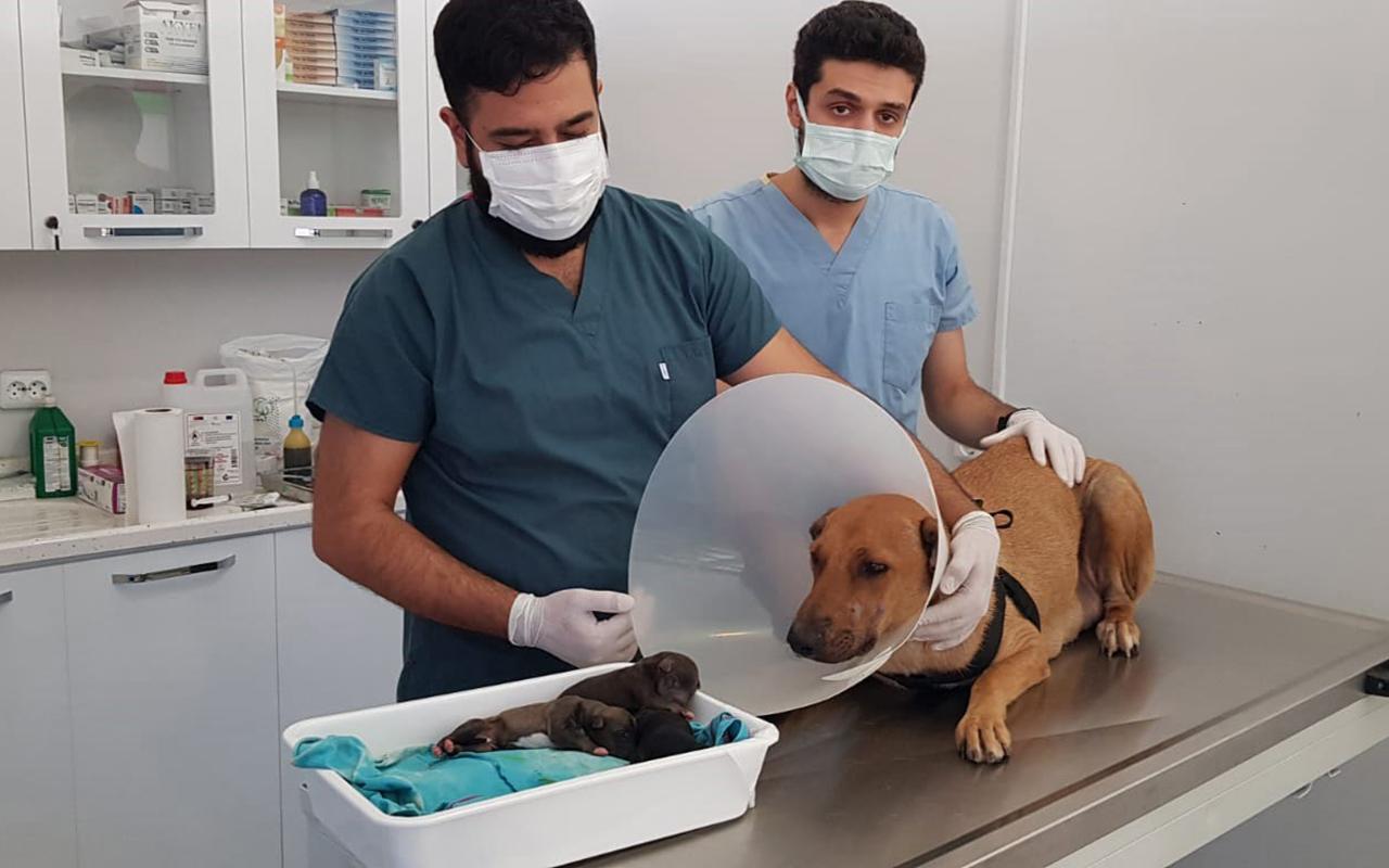 Hamile köpek doğum yapmak için hastanenin acil servisine gitti